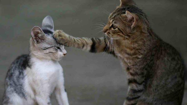 Curiosidades gato