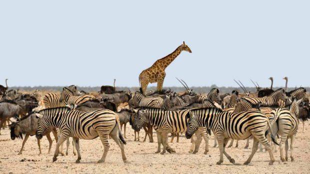 Jirafa entre animales
