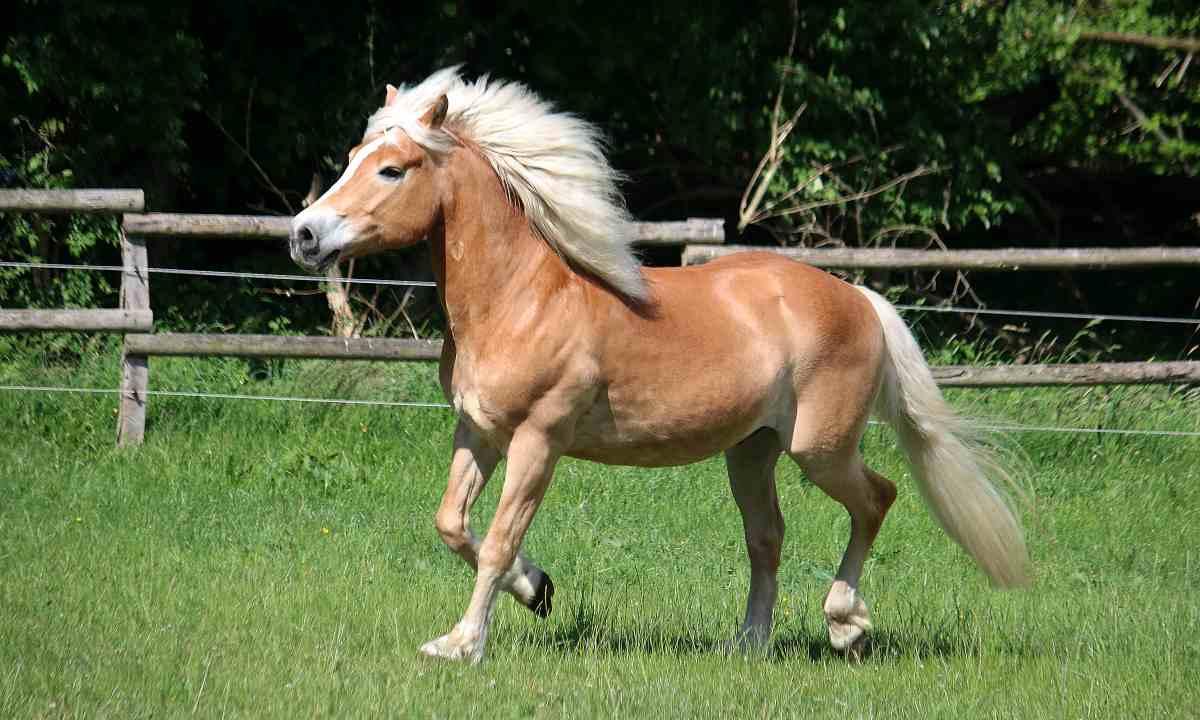 Cómo son los caballos avelines