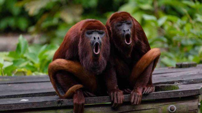 Cómo son los monos aulladores?