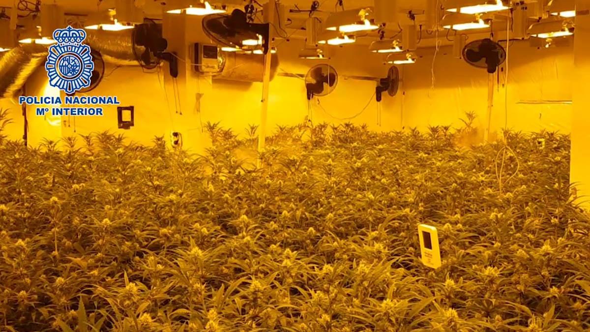 Una de las plantaciones de marihuna descubiertas por la Policía.