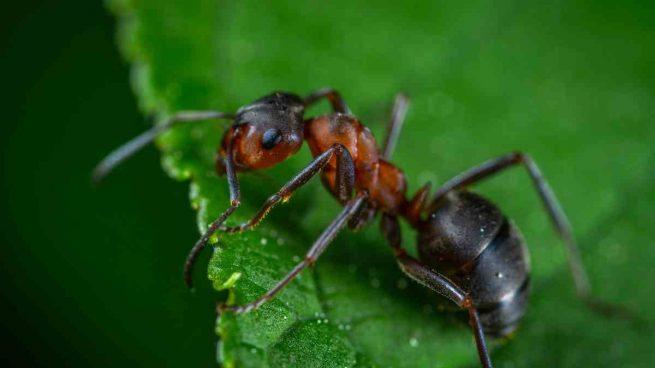 Hormiga cortadora de hojas