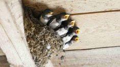 Pautas con un nido abandonado