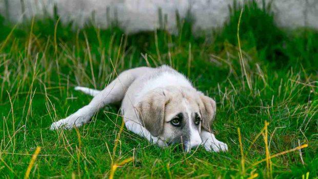 Tumor contagioso en perros