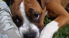 Perros y tumores contagiosos