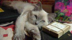 Vtaminas para tu gato