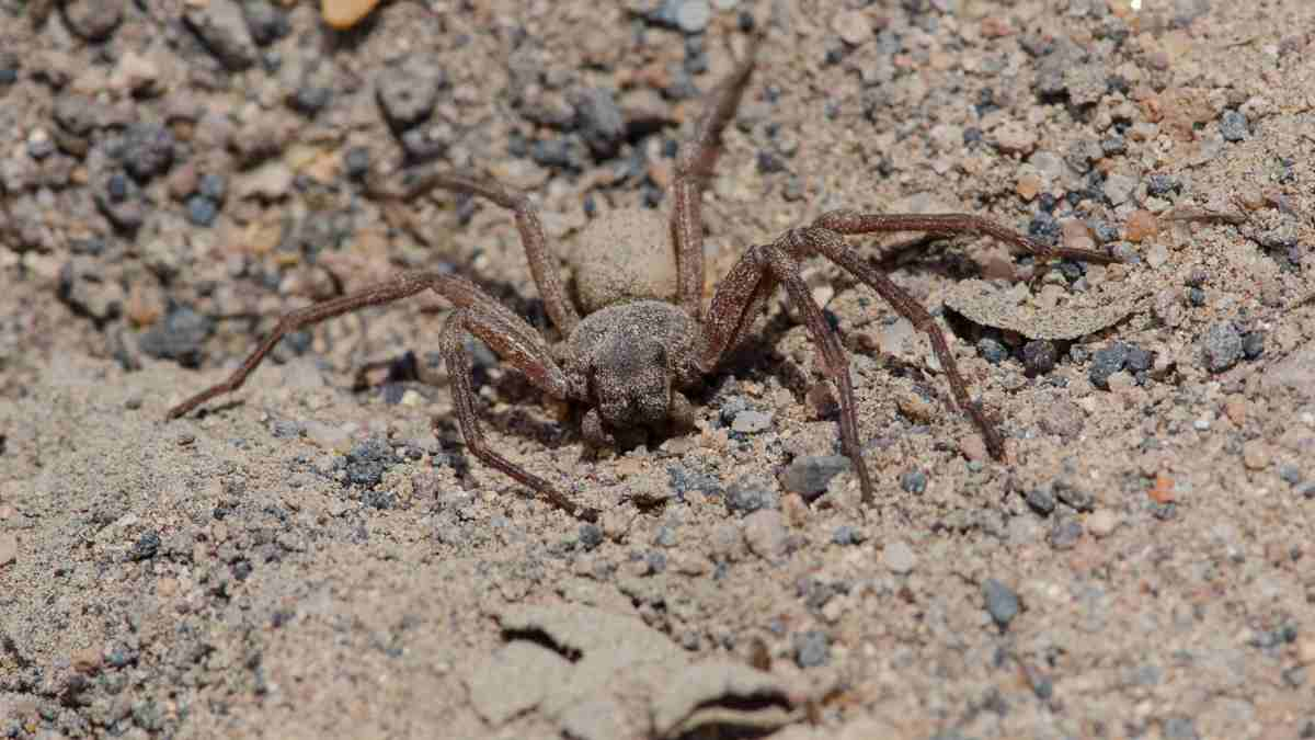 Curiosidades de la araña sicario