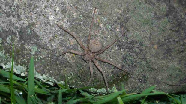 Araña sicario