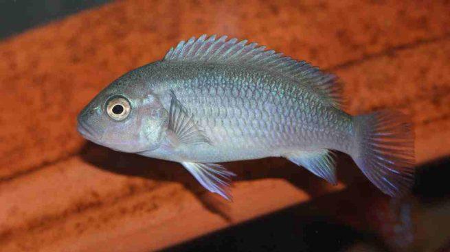Características de los peces cíclidos