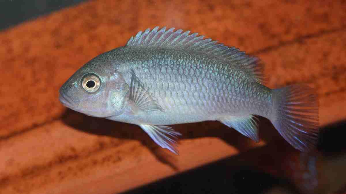 Los peces cíclidos, características