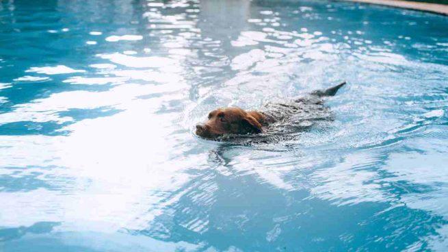 Perro natación