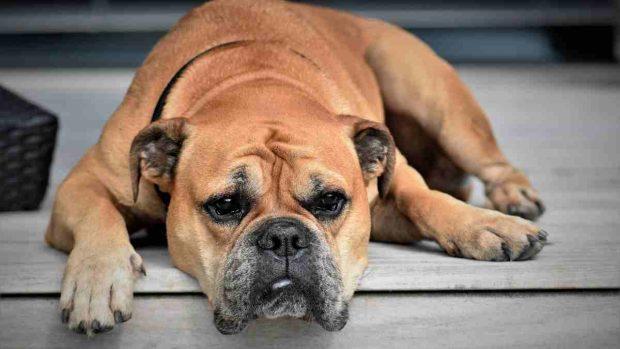 Tumor en perros