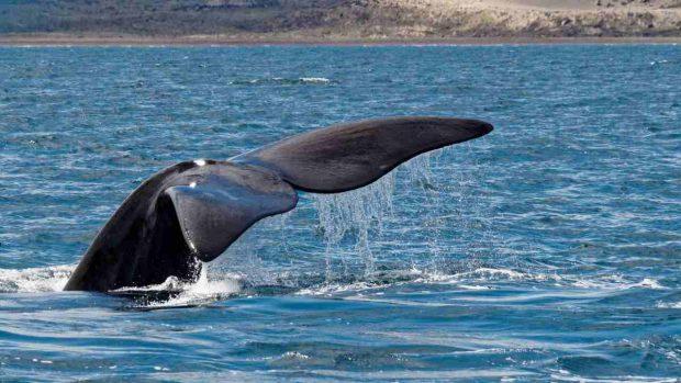 Cola de ballena franca