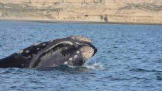 Animales curiosos: la ballena franca