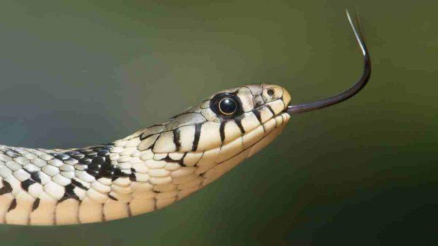 Veneno serpiente