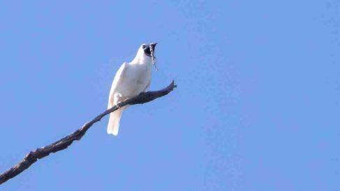 Características del pájaro más ruidoso