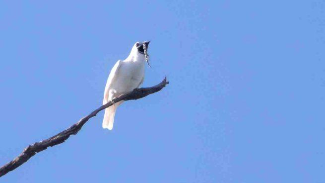Pájaro más ruidoso
