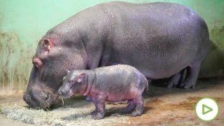 bebe-hipopotamo-bioparc-valencia