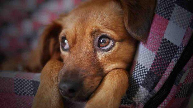 Úlcera corneal en perros