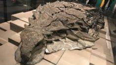El último alimento de un dinosaurio blindado