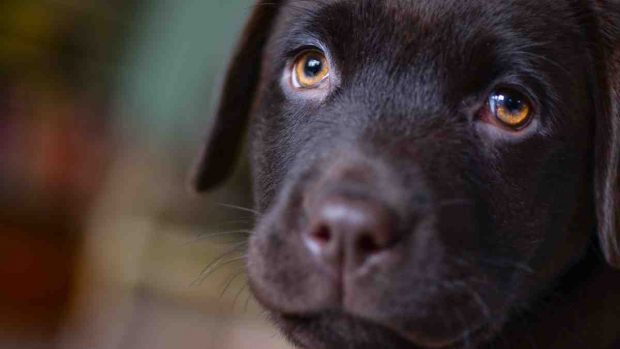 Daños en oído de perros