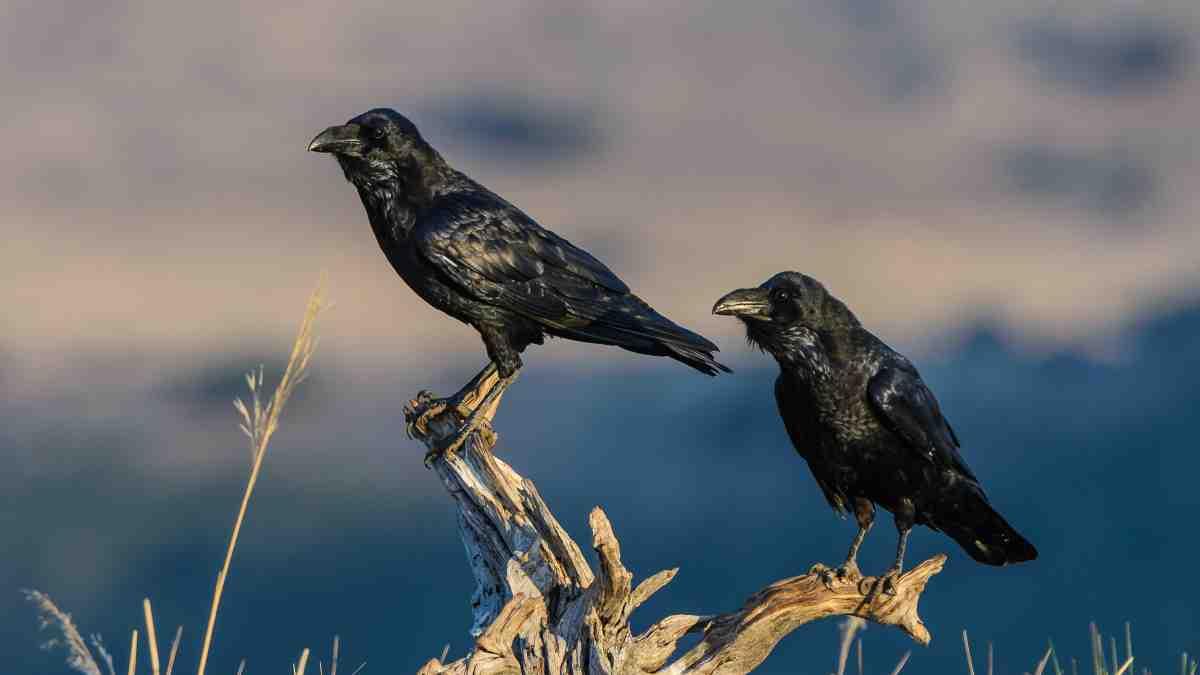La corneja negra y el cuervo
