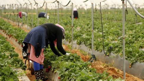 Mujeres recogiendo fresas