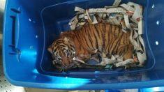 Facebook: Un perro antidrogas descubre un tigre de Bengala en un paquete sospechoso