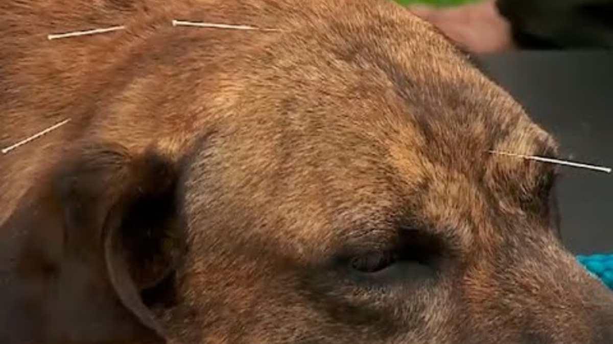 Ventajas de la acupuntura en perros
