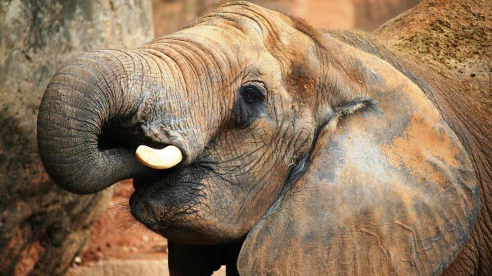 Los orígenes del elefante