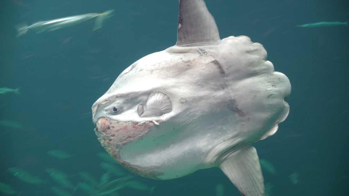 ¿Sabes cómo es el pez luna?