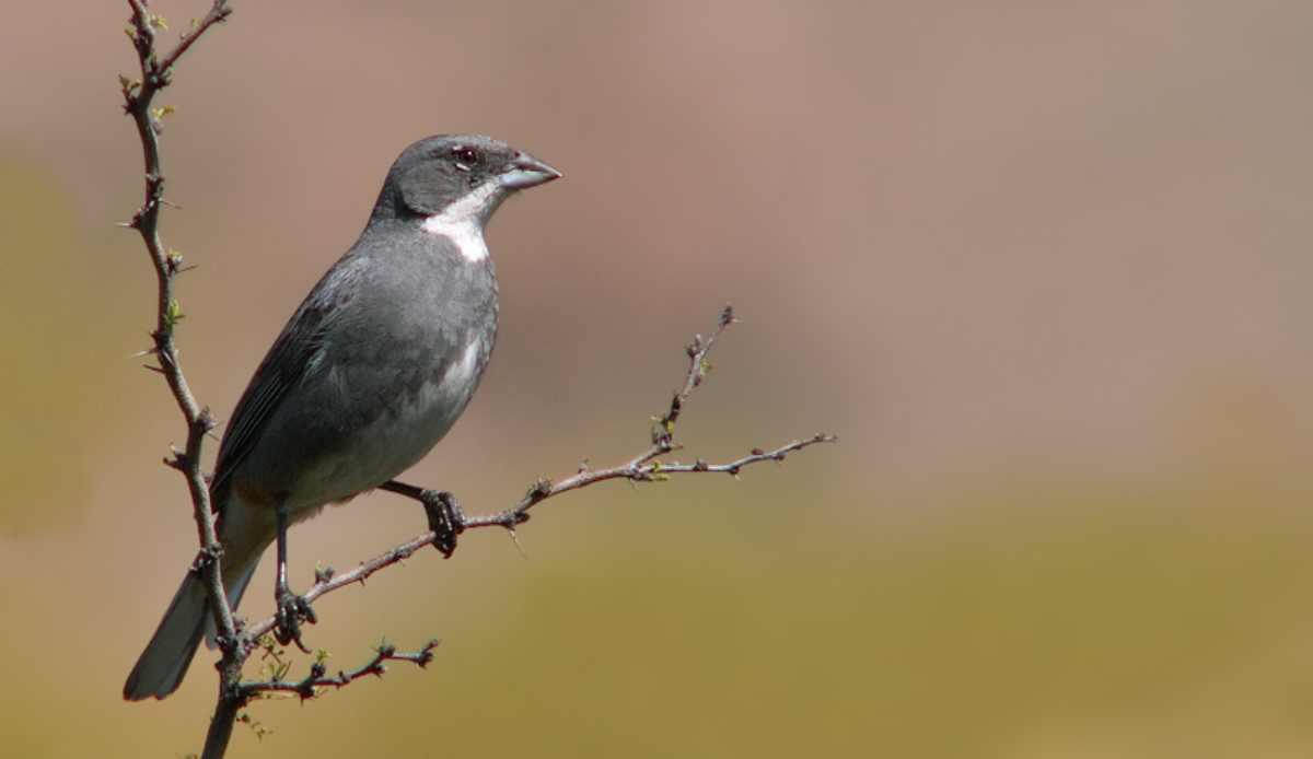 Aves pequeñas: diuca