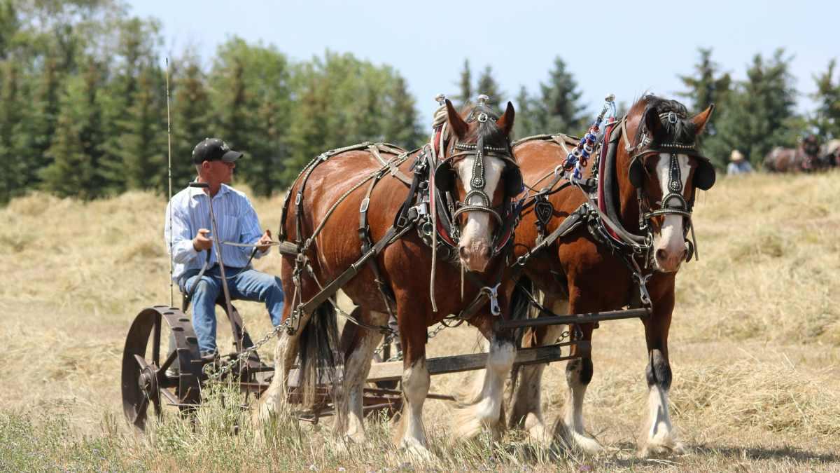 Tipos de caballos: caballo de tiro