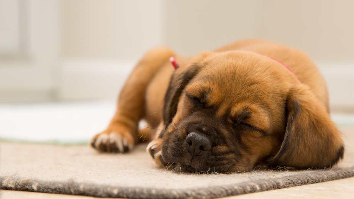 Sueños de perros y gatos