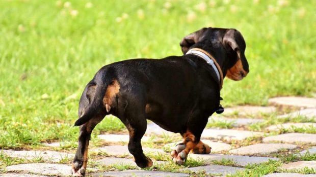 Perros que pueden ser obesos con facilidad