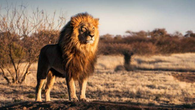 leones en el mundo