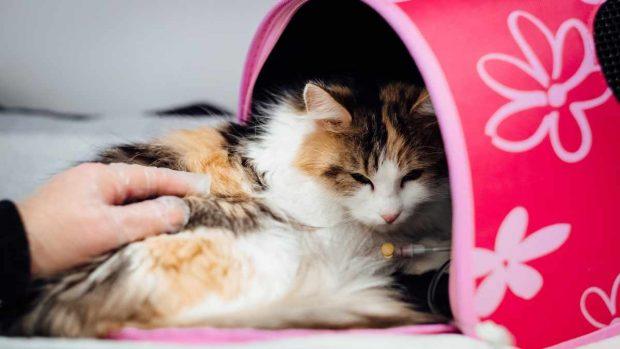 Cirugía en gatos