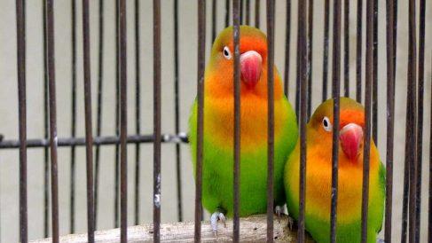¿Cómo se reproducen los pájaros domésticos?