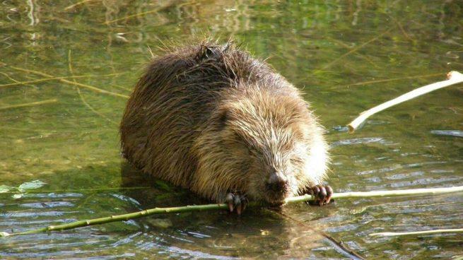 Calentamiento global: los castores están destruyendo el Ártico