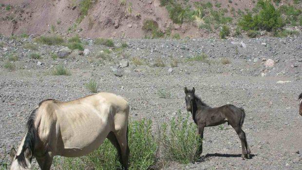 Yegua embarazada
