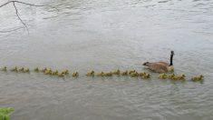 Facebook: Una mamá gansa adopta a 47 polluelos para mantenerlos a salvo