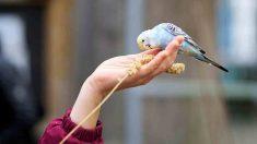 Consejos sobre la alimentación del periquito