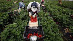 Temporeras en una finca agrícola de Huelva.