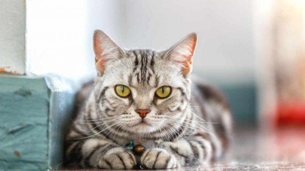 Toxoplasma gato