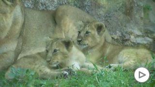 leones-roma-zoo