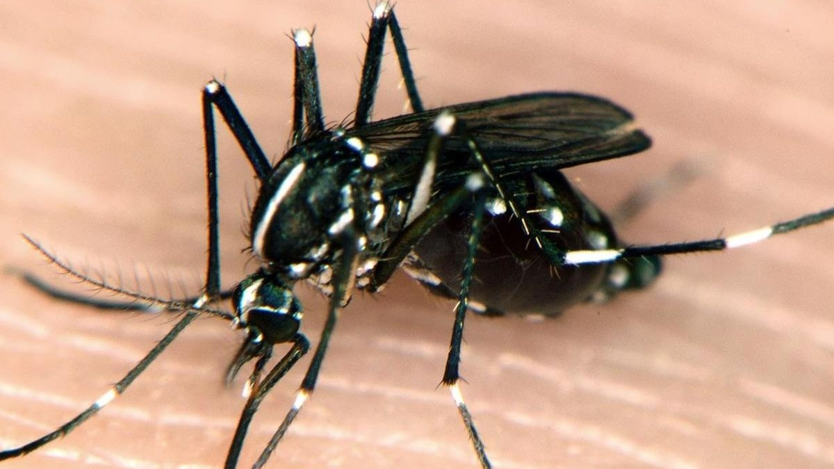 Mosquitos tigre
