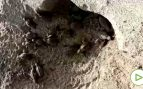 Nacen más de 100 crías de tortuga boba en una playa del Caribe colombiano