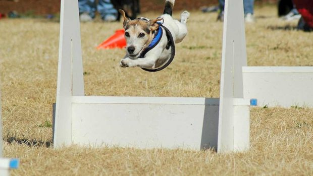 Perro flyball