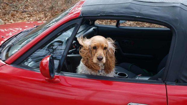 Viaja con tu perro en el coche