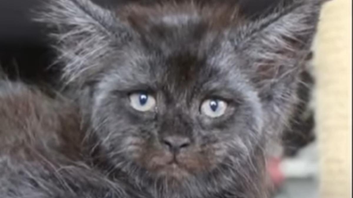 YouTube: Este es el gato con rostro humano que revoluciona las redes sociales